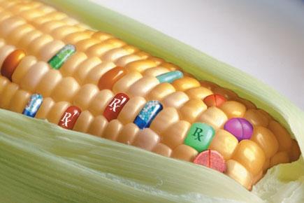 Una variedad de maíz transgénico para producir un fármaco contra una enfermedad genética rara, MPSI.